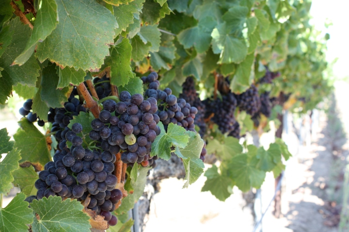 Grapes ready for picking...
