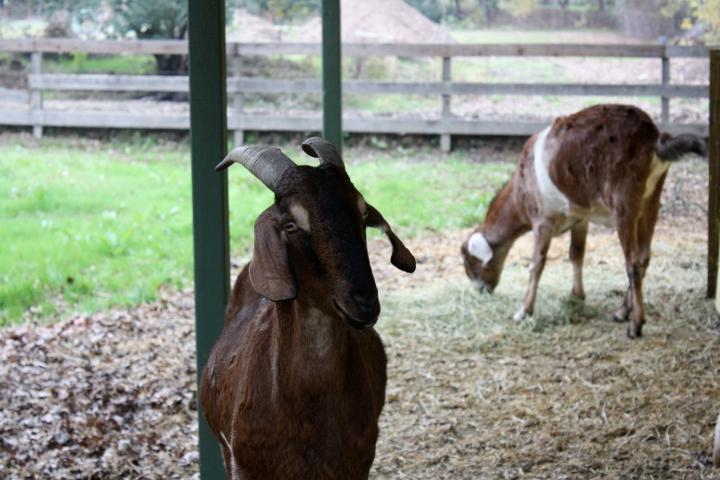 Casa Nuestra's resident Nubian goats - Nava & A.P.