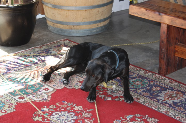 Winery dog Oscar relaxing in the Jalama tasting room