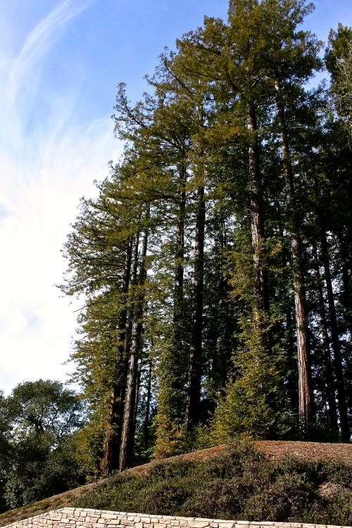 Towering pines line the driveway up to Gary Farrell Vineyards & Winery