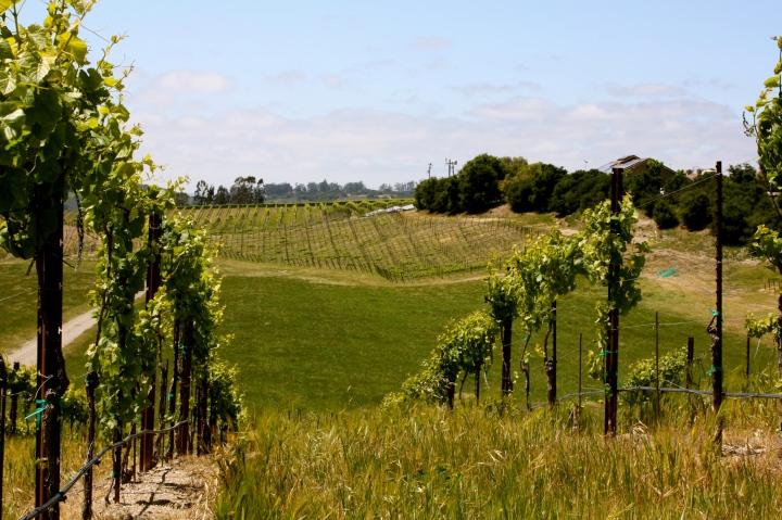 The beautiful vineyards around Babcock Winery & Vineyards