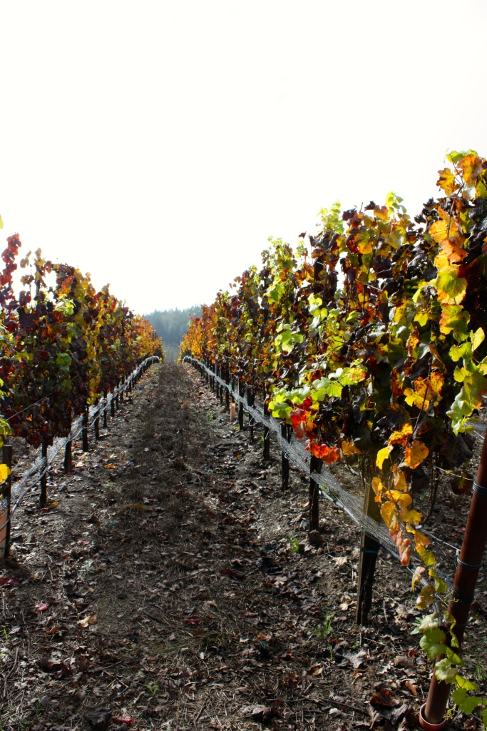 Fall colors in the Williams Selyem Estate Vineyards