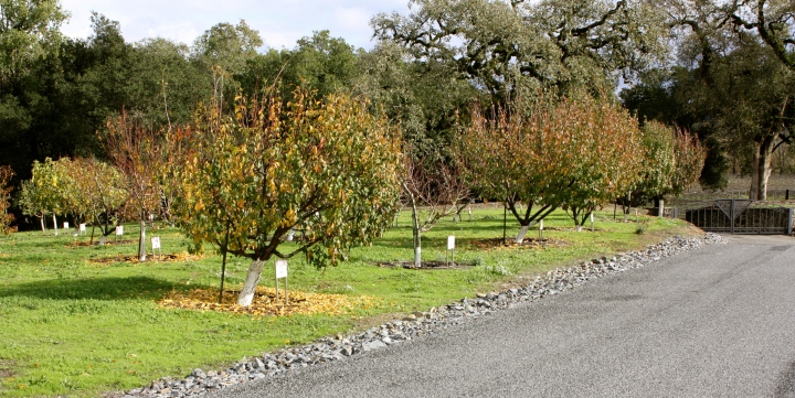 Fruit orchards line the driveway up to the Williams Selyem Winery